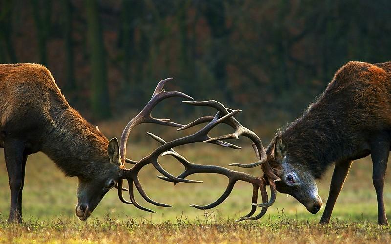 ciervos berrea